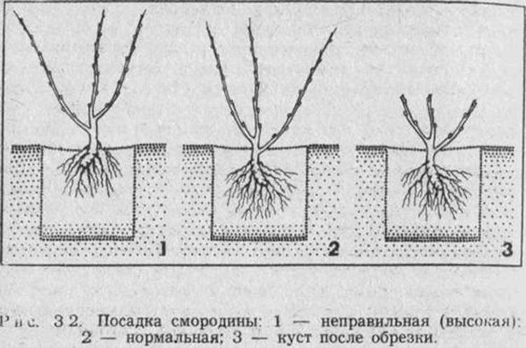 Как правильно сажать саженцы смородины 23