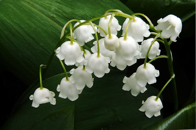 Цветы белые ландыши  № 1608787  скачать