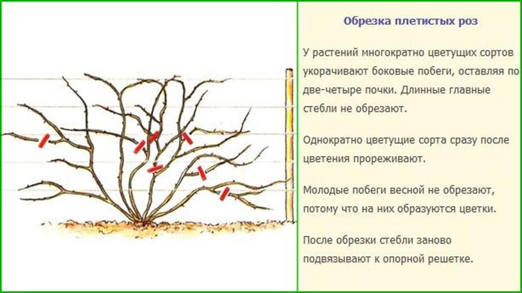 Обрезка плетистые розы уход и выращивание