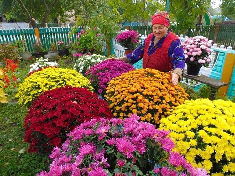 Можно ли сажать хризантемы «дубки» с цветами
