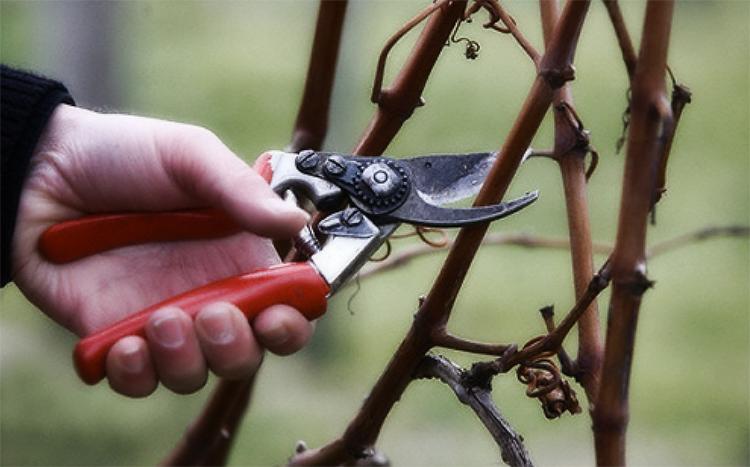 Формируем лозу: как сделать правильную обрезку винограда осенью