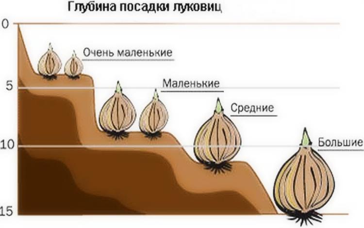 Как посадить гиацинты осенью: советы специалистов