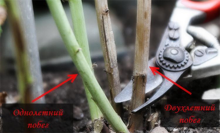 Как правильно обрезать малину осенью: основные способы