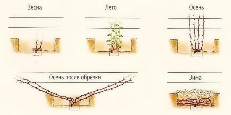 Как укрыть виноград на зиму – способы, советы, основные ошибки