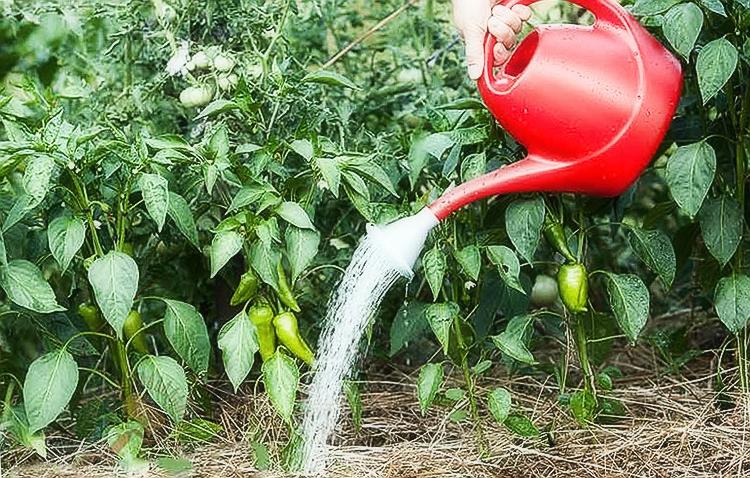 Правильное выращивание перца и уход в открытом грунте