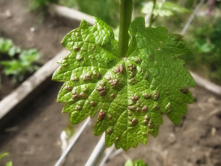 Секреты выращивания винограда на дачном участке