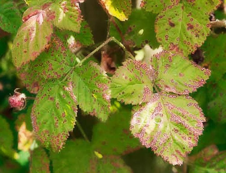 Способы выращивания малины на дачном участке