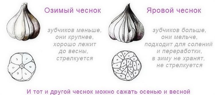 Выращивание чеснока в открытом грунте: советы и правила
