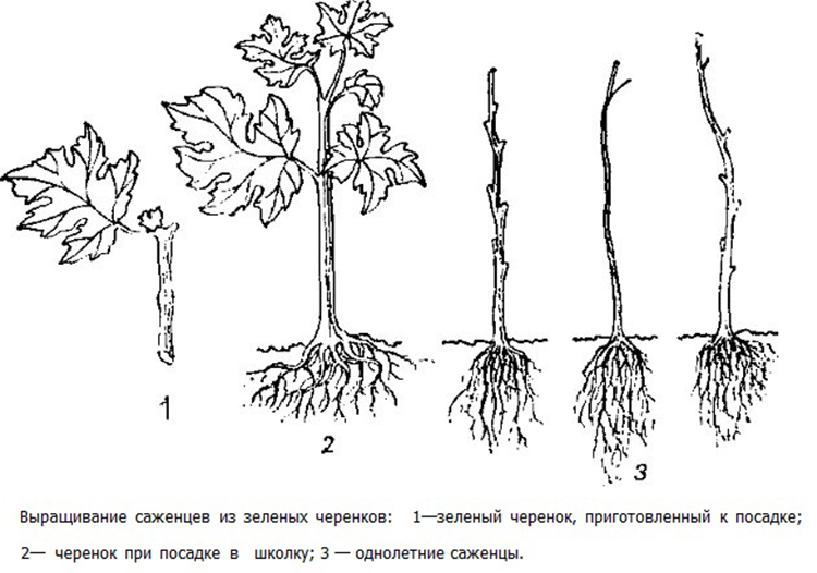 Черенкование винограда: заготовка, нарезка, посадка, уход