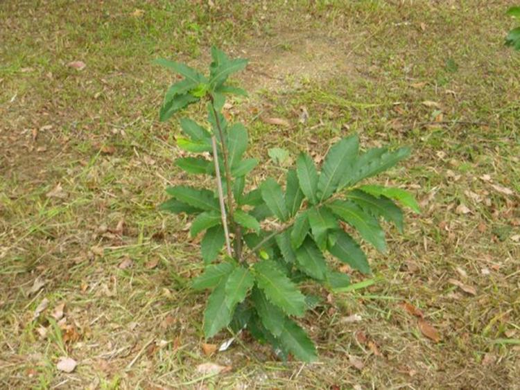 Как посадить и вырастить конский каштан