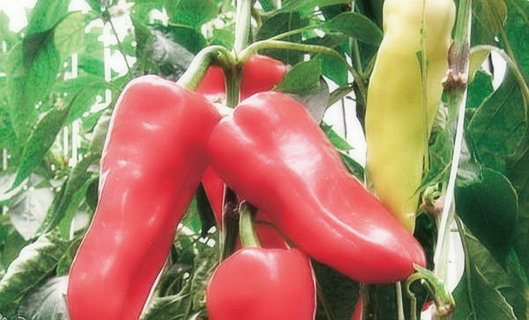 Как выращивать перец в теплице: советы опытных садоводов