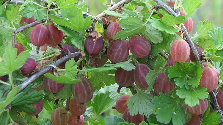 Все хитрости выращивания крыжовника: что он любит, чем размножается, какие есть сорта