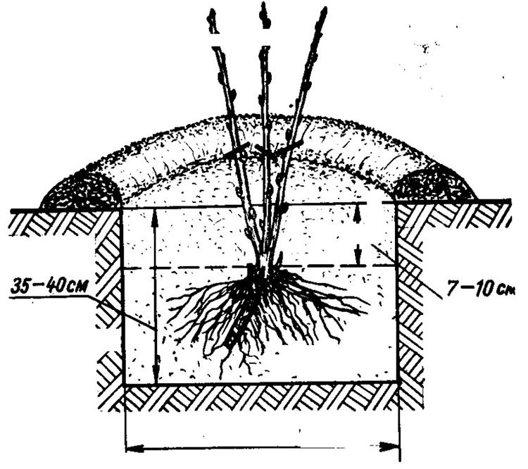 Основные правила и рекомендации по выращиванию крыжовника