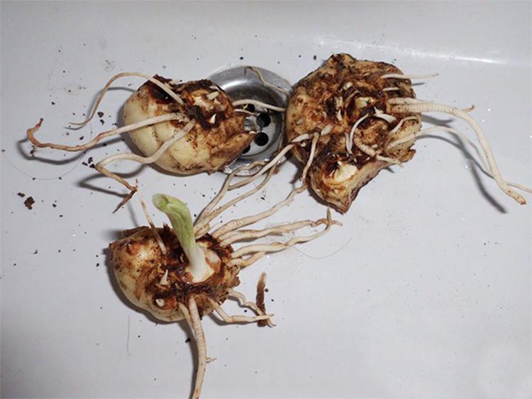 Правила и рекомендации по выращиванию каллы
