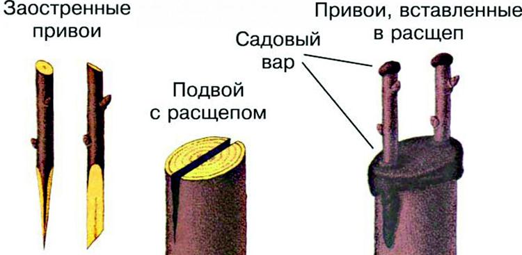 Прививка яблони: сроки, способы, рекомендации