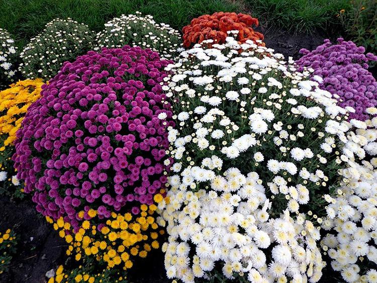 Как сохранить черенки хризантем до весны