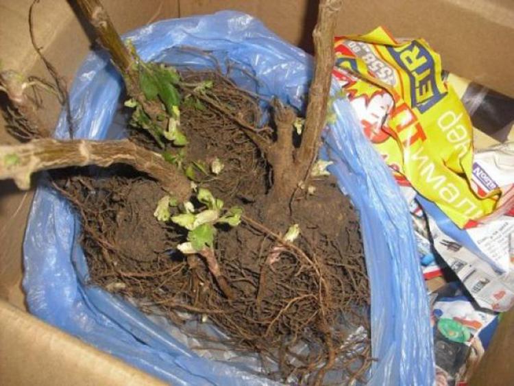 Размножение хризантем: основные способы и их особенности