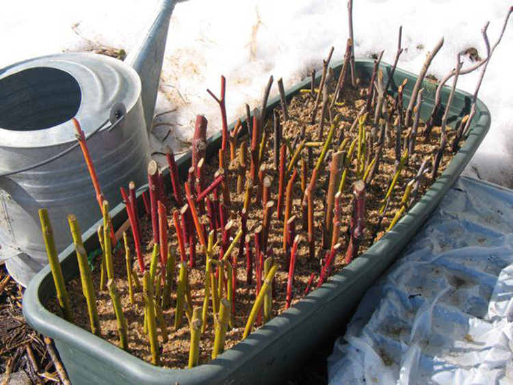 Размножение крыжовника: основные способы и рекомендации