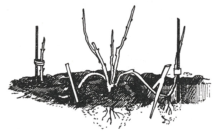 Способы размножения роз в домашних условиях