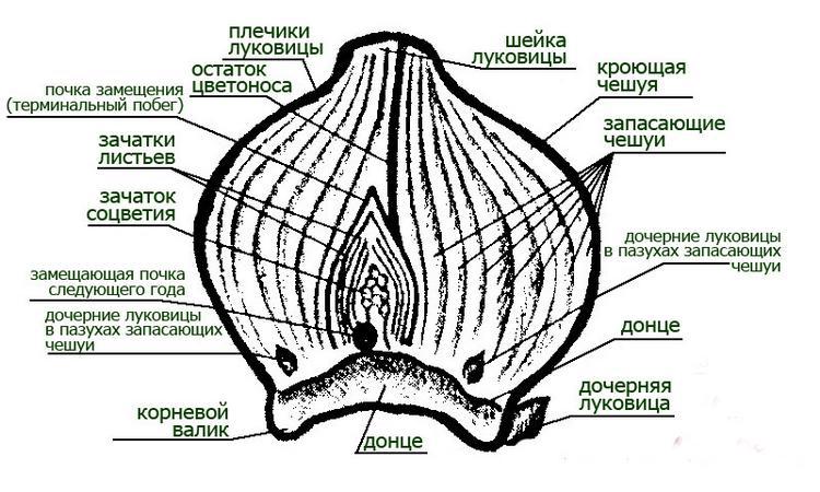 Выгонка гиацинтов: выбор сорта, подготовка, посадка, уход