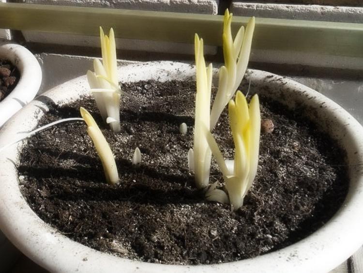 Выгонка лилий к 8 марта: выбор сорта, уход, основные ошибки