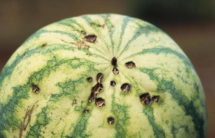 Выращивание арбузов на приусадебном участке