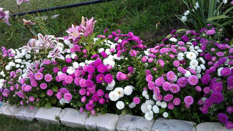 Цветы астры  посев и выращивание