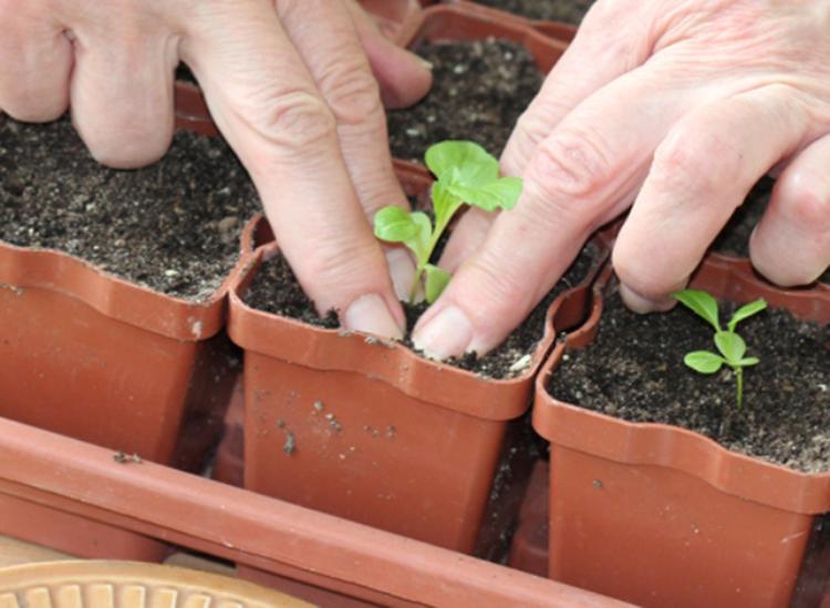 Выращивание астры: выбор сорта, посадка, уход