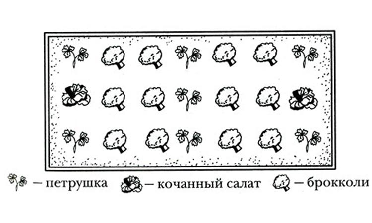 Выращивание брокколи на приусадебном участке