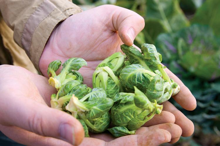 Выращивание брюссельской капусты на огороде
