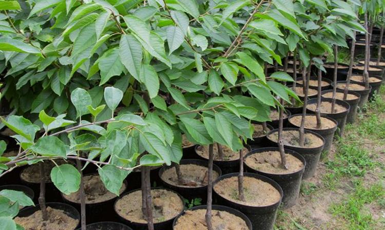 Выращивание черешни: главные правила агротехники