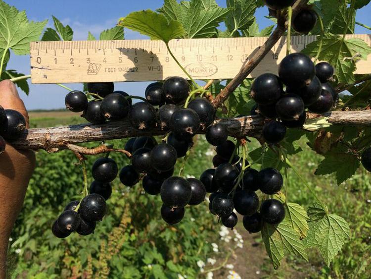 Выращивание черной смородины: сорта, посадка, уход