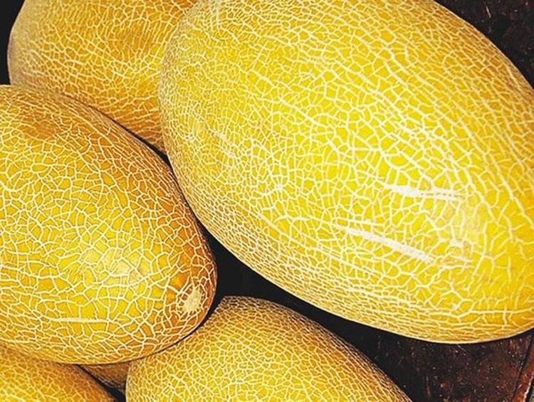 Выращивание дыни: советы по выбору сорта и уходу