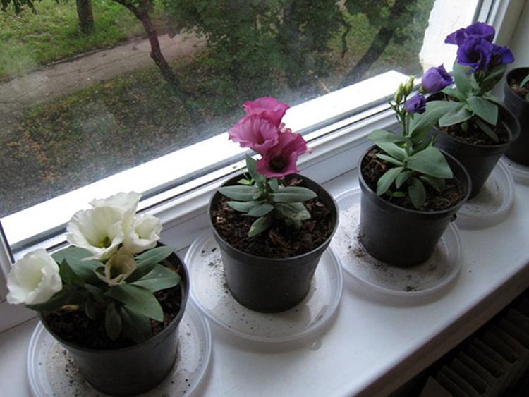 Выращивание эустомы на участке и в домашних условиях