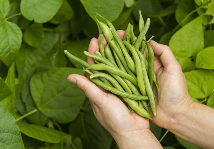 Выращивание фасоли на приусадебном участке