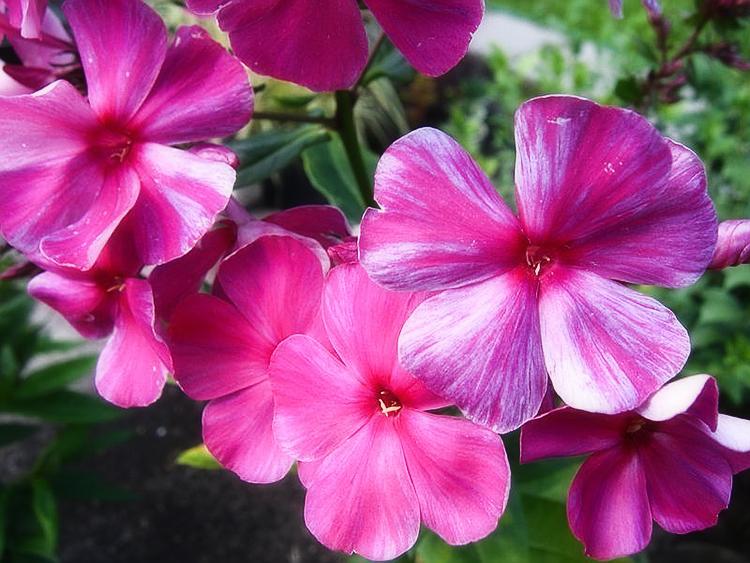 Выращивание флоксов: сорта, посадка, уход
