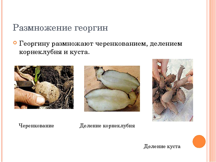 Выращивание георгин: выбор сорта, посадка, хранение клубней