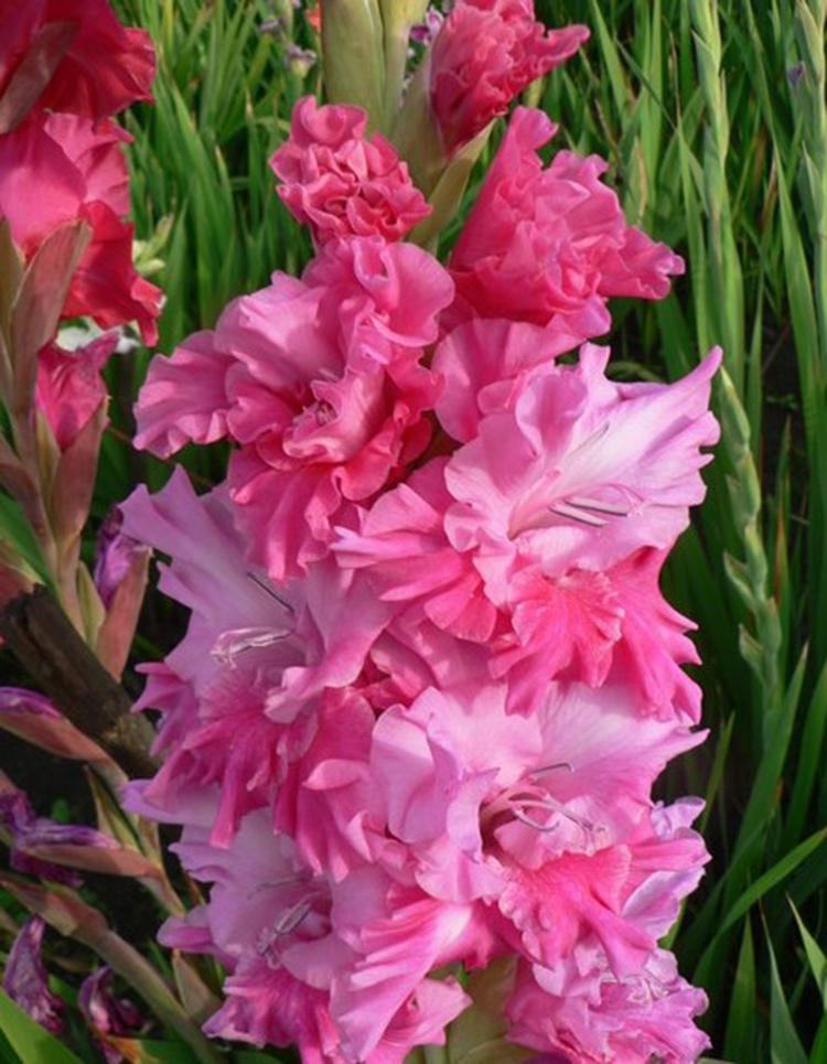 Выращивание гладиолусов: выбор сорта, посадка, уход