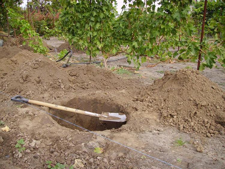 Выращивание груши: советы опытных дачников