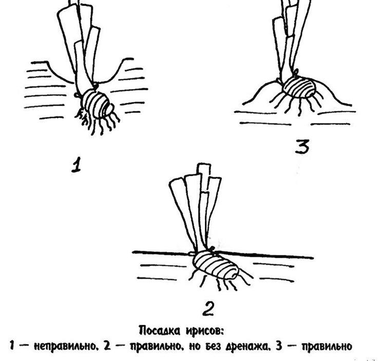 Выращивание ирисов: разновидности, советы по уходу