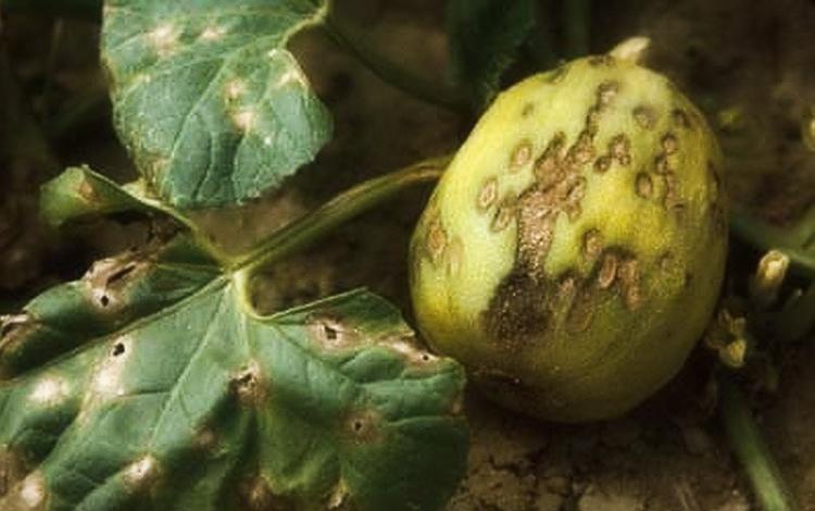 Выращивание кабачков в открытом грунте на даче