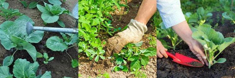 Выращивание капусты брокколи: советы начинающим огородникам