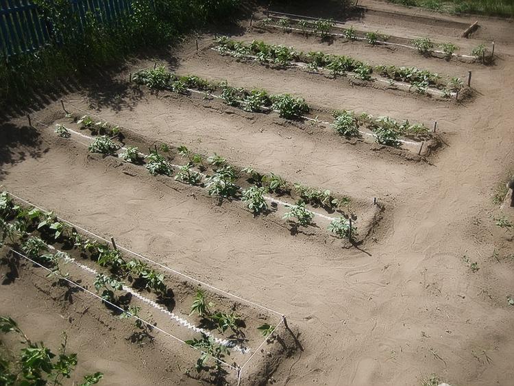 Выращивание картофеля на приусадебном участке