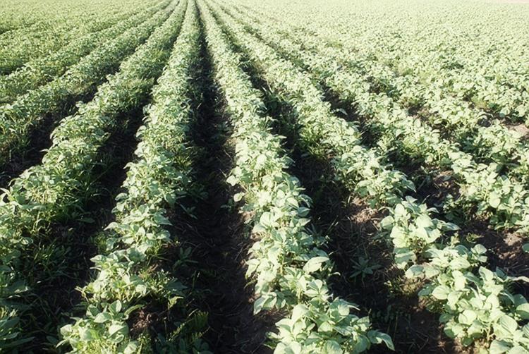 Технология выращивания картофеля на приусадебном участке