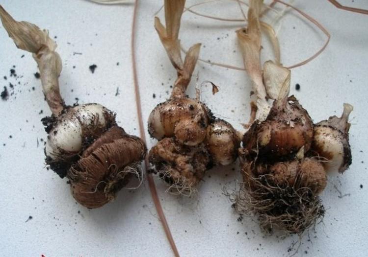 Выращивание крокусов: сорта, посадка, уход