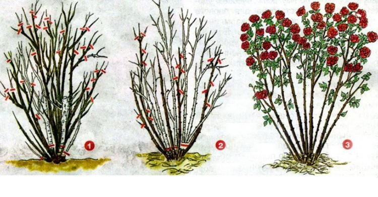 Обрезка роз формирование куста