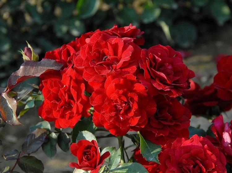 Выращивание кустовых роз на приусадебном участке
