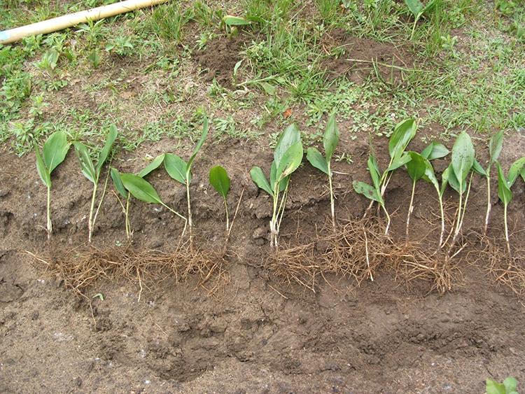 Выращивание ландышей: сорта, посадка, выгонка, уход