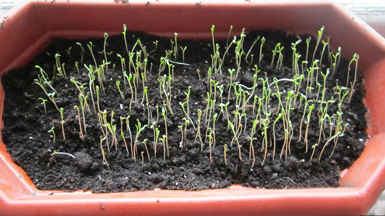 Выращивание левкоя: советы проверенные временем