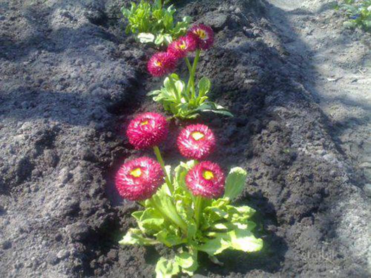 Выращивание маргариток: выбор сорта, посадка, уход
